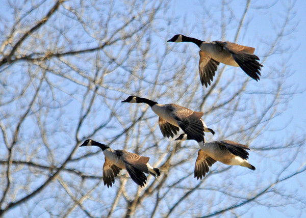 """<div class=""""jaDesc""""> <h4>Canada Geese on Final Approach - December 7, 2014 </h4> <p>A small flock of Canada Geese were coming in to join a much larger flock by the boat launch at Treman Marine Park in Ithaca, NY.</p> </div>"""