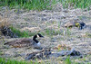 "<div class=""jaDesc""> <h4>Canada Goose Family - May 8, 2018</h4> <p>This Canada Goose family was resting on an island in the creek that feeds Dryden Lake, NY.</p> </div>"