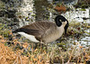 "<div class=""jaDesc""> <h4> Canada Goose in Wetland - November 2006 </h4> <p> While hiking along a trail at Sapsucker Woods by Cornell Ornithology Lab, I came upon this Canada Goose quietly grazing in a wetland area.</p> </div>"