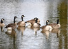 "<div class=""jaDesc""> <h4>Canada Geese Wading in Pool - October 10, 2016 </h4> <p>The Montezuma NWR is a popular stop-over spot for migrating birds.  Canada Geese began migrating about a month ago.  This group was enjoying a break in the main pool.</p> </div>"