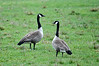"<div class=""jaDesc""> <h4>Canada Geese in Horse Pasture - April 26, 2016 </h4> <p>A pair of Canada Geese have been hanging out by our neighbor's secluded pond.  They decided to fly down to one of our horse pastures to graze.</p> </div>"