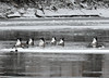 "<div class=""jaDesc""> <h4> Geese - Synchonized Grazing - December 26, 2010 - Video Attached </h4> <p>  A group of Canada Geese were bottom feeding along the Susquehanna River in Nichols, NY.  At one point, all 6 of them went bottoms-up at the same time.</p> </div> </br> <center> <a href=""http://www.youtube.com/watch?v=CPf2a0HEll8"" class=""lightbox""><img src=""http://d577165.u292.s-gohost.net/images/stories/video_thumb.jpg"" alt=""""/></a> </center>"