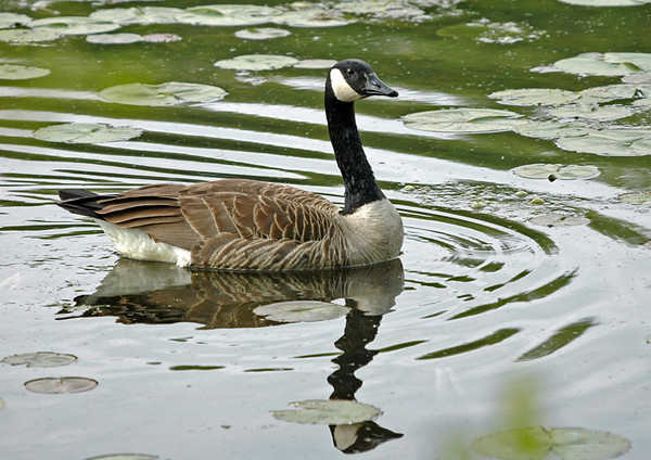 "<div class=""jaDesc""> <h4>Canadian Goose in Ripples - May 2006</h4> <p> I enjoyed watching the ripples around this Canada Goose as she slowly made her way across a pond.</p> </div>"