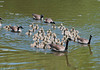 """<div class=""""jaDesc""""> <h4> Canada Gosling Flotilla - May 17, 2012 </h4> <p> When I drove into Stewart Park in Ithaca, NY, I could not believe my eyes when I saw this mass of goslings being escorted by 6 adults.  I had to drive out in front of them so I could get them all in the frame with my telephoto lens.  There are 42 gosling in the flotilla.</p> </div>"""
