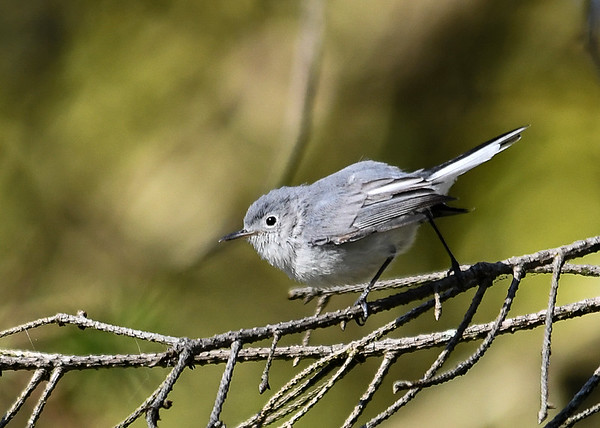 "<div class=""jaDesc""> <h4>Blue-gray Gnatcatcher Looking for Gnats - September 19, 2019 </h4> <p>This little micro-bird was moving quickly through branches grabbing gnats for breakfast.</p> </div>"