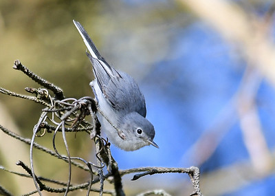 Blue-gray Gnatcatcher Looking Down - September 19, 2019  This pose reminds me of a nuthatch.