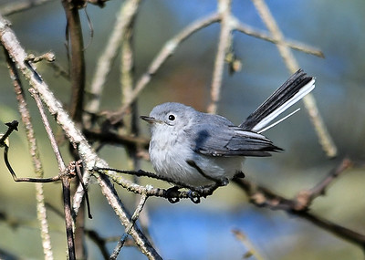 Blue-gray Gnatcatcher Looking Up - September 19, 2019  I love the eye ring.