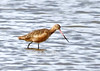 "<div class=""jaDesc""> <h4> Hudsonian Godwit Foraging - December 16, 2014 </h4> <p> I noticed a pair of Hudsonian Godwits quite a way out in the shallows at Chincoteague Wildlife Reserve.  Their primary identifying feature is the long pink and black bill.  They feed by probing the bottom rapidly with their long bill. </p> </div>"