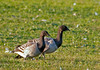 "<div class=""jaDesc""> <h4> Brandt Goose Pair Grazing - November 6, 2011 </h4> <p> Two Brandt Geese were foraging at the Treman Marine Park in Ithaca, NY. They are on their way from the Tundra of northern Canada to the Eastern coast for the winter. They are smaller than Canada Geese and have a black head, neck and breast with a small white patch just below the head.</p> </div>"