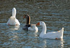 "<div class=""jaDesc""> <h4> Domestic Geese Line-up - December 18, 2009 </h4> <p>  </p> </div>"