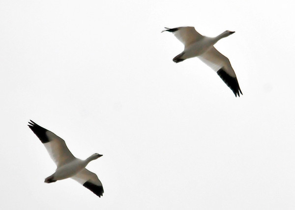 """<div class=""""jaDesc""""> <h4> Snow Geese Fly-over - November 6, 2013 </h4> <p> A large flock of Snow Geese (~ 100) flew overhead while I was watching a Great Blue Heron at Bombay Hook NWR in Delaware. They do not do the loud honking like Canada Geese, so I was lucky to notice them.</p> </div>"""
