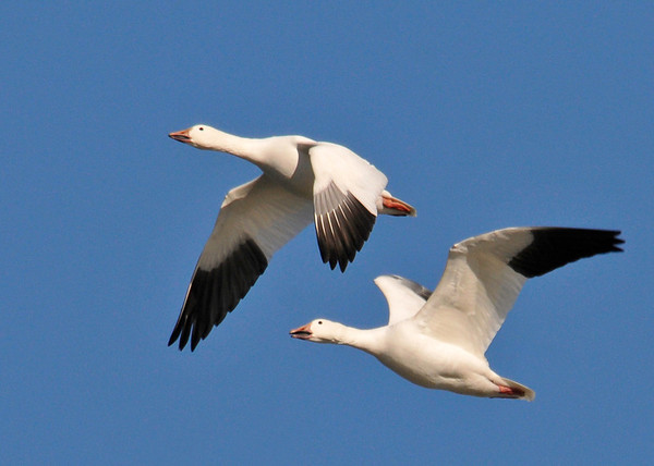 """<div class=""""jaDesc""""> <h4> Snow Goose Pair Fly-by - March 31, 2014 </h4> <p> This Snow Goose pair were perfectly positioned for their wing flaps as they flew by in the setting sun.  They tuck their webbed feet back very tightly under their tail feathers to reduce drag.</p> </div>"""