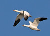 "<div class=""jaDesc""> <h4> Snow Goose Pair Fly-by - March 31, 2014 </h4> <p> This Snow Goose pair were perfectly positioned for their wing flaps as they flew by in the setting sun.  They tuck their webbed feet back very tightly under their tail feathers to reduce drag.</p> </div>"