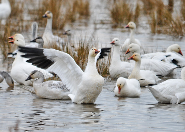 """<div class=""""jaDesc""""> <h4> Snow Goose  Wing Flap - December 16, 2014 </h4> <p>Snow Geese were doing wing flaps through the large flock at Chincoteague NWR.  Catching one in a photo was a challenge.</p> </div>"""