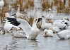 "<div class=""jaDesc""> <h4> Snow Goose  Wing Flap - December 16, 2014 </h4> <p>Snow Geese were doing wing flaps through the large flock at Chincoteague NWR.  Catching one in a photo was a challenge.</p> </div>"