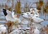 "<div class=""jaDesc""> <h4> Snow Goose - SPLASH - December 16, 2014 </h4> <p> the in-bound Snow Goose landed in very tight quarters as it hit the water.; fun to watch!</p> </div>"