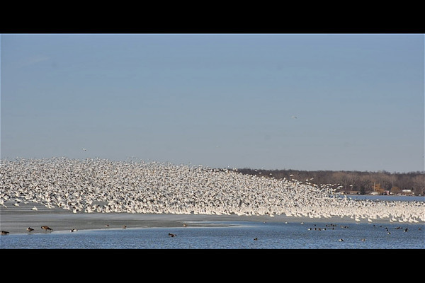 """<div class=""""jaDesc""""> <h4> Snow Geese Mass Take-off - March 31, 2014 - Video Attached</h4> <p> I watched this incredible scene for two hours.  The most spectacular part was seeing most of them take-off 3 times during those 2 hours.  First there would be an increasing volume of honking; then the rushing sound of wings flapping would begin as thousands of these beautiful birds would take to the sky in a huge wave.  Then it would look like a massive snow squall as they flew around in a large coordinated pattern. </p>  </div> <center> <a href=""""http://www.youtube.com/watch?v=IFVsLUc--uA""""  style=""""color: #0000FF"""" class=""""lightbox""""><strong> Play Video</strong></a>"""