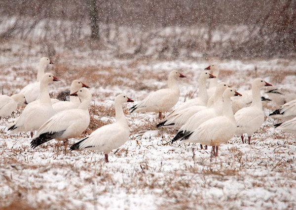 """<div class=""""jaDesc""""> <h4> Snow Geese in Snow Squall - February 29, 2012 </h4> <p> When the phone rang this morning the caller proudly announced: """"I'm Going to Make Your Day"""". She was calling to tell me that a flock of 200+ Snow Geese had just landed on a hay field in Berkshire along Route 38. I took my time approaching them in a zigzag pattern so as not to spook them off. I managed to get within 100 feet of these beauties. They probably landed because flight visibility was less that 1/4 mile in the heavy snow.</p> </div>"""