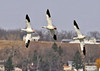 "<div class=""jaDesc""> <h4> Snow Geese in Coordinated Turn - March 31, 2014 </h4> <p> I am always amazed at how close together large birds like Snow Geese fly.  It seems like their wing tips come within inches of each other when they flap, but never touch.  This was a nice 3 bird coordinated turn.</p> </div>"