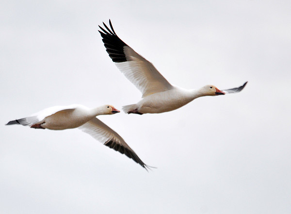"""<div class=""""jaDesc""""> <h4> Snow Geese In-flight - December 16, 2014 </h4> <p> Periodically, hundreds of Snow Geese would take flight, circle around a few times and then land back on Snow Goose Pond at Chincoteague Wildlife Reserve in Virginia.</p> </div>"""