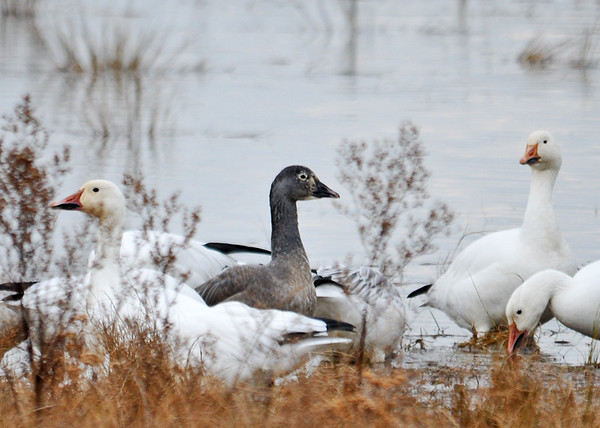 """<div class=""""jaDesc""""> <h4> Immature Snow Goose - December 16, 2014 </h4> <p> Many of the immature Snow Geese are gray with a black beak.</p> </div>"""