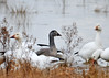 "<div class=""jaDesc""> <h4> Immature Snow Goose - December 16, 2014 </h4> <p> Many of the immature Snow Geese are gray with a black beak.</p> </div>"