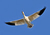 """<div class=""""jaDesc""""> <h4> Snow Goose Fly-over - March 31, 2014 </h4> <p> This is one of the many thousands of Snow Geese that were taking off during a one hour period.  The sun was setting, casting a beautiful glow on their white bodies.  When their wings are folded, you barely see any black on their wings.</p> </div>"""