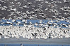"""<div class=""""jaDesc""""> <h4> Snow Geese Mass Landing - March 31, 2014 - Video Attached</h4> <p>After flying around for several minutes, the entire group would circle back and land in the same location with the birds who did not join the flight.  In less than 30 seconds, all the birds would be back down as if they never took flight.  Just an amazing sight !!!  </p>  </div> <center> <a href=""""http://www.youtube.com/watch?v=ambAaZVbj_8""""  style=""""color: #0000FF"""" class=""""lightbox""""><strong> Play Video</strong></a>"""