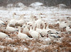 """<div class=""""jaDesc""""> <h4> Snow Geese - White Morph Juvenile - February 29, 2012 </h4> <p> The White Morph Snow Goose is predominantly white but has black primary feathers - goose on lower right.  This one is a juvenile because it still has some grayish tint on the head and breast.</p> </div>"""
