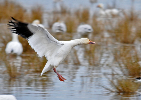 "<div class=""jaDesc""> <h4> Snow Goose Inbound to Land - December 16, 2014 </h4> <p> I tracked this Snow Goose on its final approach to land on the pond at Chincoteague Wildlife Reserve in Virginia.</p> </div>"