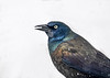 "<div class=""jaDesc""> <h4>Grackle Close-up - March 3, 2017</h4> <p>This Grackle had selected a seed and was rolling it around inside his beak with his tongue before cracking it open to eat the kernel.</p></div>"