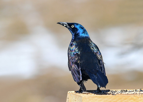 """<div class=""""jaDesc""""> <h4>Grackle - Back View - March 23, 2019</h4> <p>Sparkling in the morning sunlight.</p></div>"""