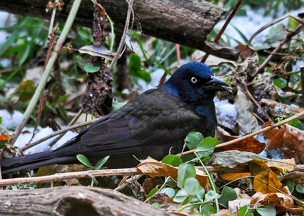"""<div class=""""jaDesc""""> <h4>Adult Common Grackle Migrating - November 15, 2014 </h4> <p>A mixed flock of Red-wings and Grackles stop by as the weather was getting cold and windy.  I guess they decided it was finally time to head south.  They gobbled up all the seed I had put out and left.</p> </div>"""