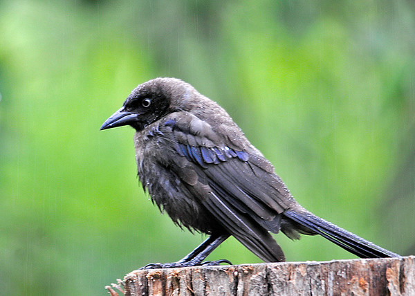 """<div class=""""jaDesc""""> <h4>Second Juvenile Common Grackle - August 23, 2014 </h4> <p>This is the second juvenile Grackle of 2 that we have visiting every day.  He has some purple feathers starting to show and a bit of color in the eye. Such a stern look he has in this shot; probably because the seed is all gone. </p> </div>"""