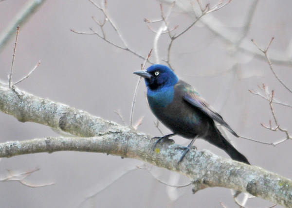 """<div class=""""jaDesc""""> <h4>Common Grackle on Perch - March 21, 2014 </h4> <p>This is one of the flock of 20+ Grackles that were moving through trees along the Susquehanna River in Nichols, NY.</p> </div>"""