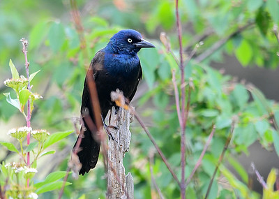 Grackle on Perch - June 5, 2018 Such a dramatic blue on this fella.