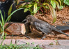 "<div class=""jaDesc""> <h4>Juvenile Grackle Discovers Feather - July 18, 2017</h4> <p>This juvenile Grackle was walking around ground feeding when he noticed a feather in front of him.  He squawked as if startled by the discovery.</p></div>"