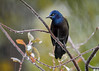 """<div class=""""jaDesc""""> <h4>Grackle in Rain - October 27, 2016</h4> <p>We had """"wintry mix"""" weather this morning which always draws a crowd of hungry birds.  A flock of 25 Grackles stopped by for a 5 minute breakfast to chow down on the corn kernels I put out for our 4 crows.</p></div>"""