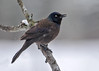 """<div class=""""jaDesc""""> <h4>Grackle in Snow - April 4, 2016</h4> <p>We have a pair of Grackles that will probably stay for the summer.  They are surviving the snow at the moment. </p></div>"""