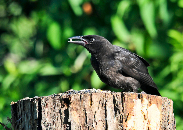 """<div class=""""jaDesc""""> <h4>Juvenile Common Grackle - Tough Guy - July 16, 2014 </h4> <p>We have two juvenile Common Grackles this year.  This one took over the suet log feeder and held his ground against Blue Jays, Red-winged Blackbirds, Starlings and Hairy Woodpeckers.  All of then tried to chase him off, but he wouldn't budge.  He does not yet have the bright yellow eye or the iridescent  coloring of the adult birds. </p> </div>"""