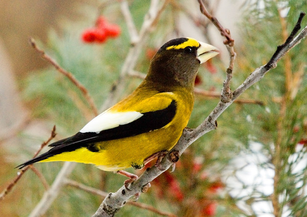 "<div class=""jaDesc""> <h4>Male Evening Grosbeak Close-up - January 4, 2008 </h4> <p>This single male Evening Grosbeak is hanging out with 7 females.  They all arrive together early each morning and stay for about 5 minutes.  You can see by the size of his beak where he gets his name.</p> </div>"