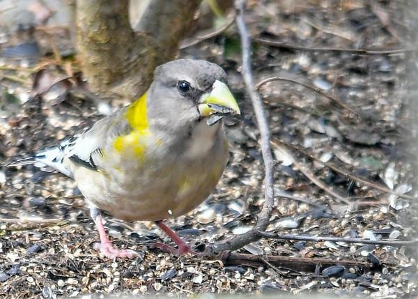 "<div class=""jaDesc""> <h4>Female Evening Grosbeak Munching on Seed - March 17, 2019</h4> <p></p> </div>"