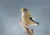 """<div class=""""jaDesc""""> <h4>Lady Evening Grosbeak Posing - January 27, 2008 </h4> <p>Normally when the Evening Grosbeaks arrive, they go straight for the perches with black-oiled sunflower seeds. Before helping herself to seed, this female flew to a perch out in the open and posed nicely for me in the morning sun.</p> </div>"""