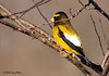"<div class=""jaDesc""> <h4>Male Evening Grosbeak in Crabapple Tree - March 17, 2008 </h4> <p> </p> </div>"