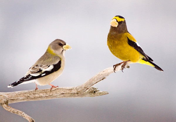 """<div class=""""jaDesc""""> <h4>Evening Grosbeak Pair on Perch - March 1, 2008 </h4> <p>Normally, the female Evening Grosbeak is dominant over the males.  This time of year though, the males and females are starting to think about pairing up for the breeding season.</p> </div>"""