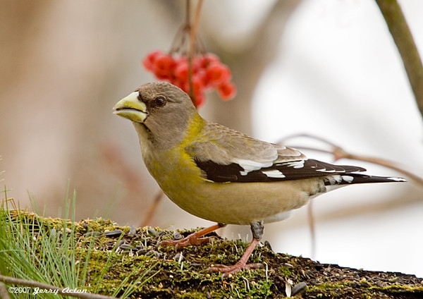 """<div class=""""jaDesc""""> <h4>Female Evening Grosbeak on Feeder Perch - December 22, 2007 </h4> <p>I managed to catch this female Evening Grosbeak at the feeder.  They have been very shy lately and fly off at the least movement.  I think our place is on their daily circuit, we only see them once a day.</p> </div>"""