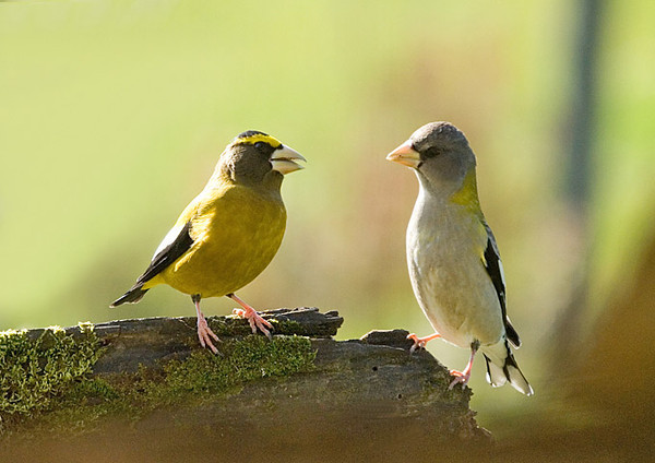 "<div class=""jaDesc""> <h4>Evening Grosbeak Pair Dining Together - November 11, 2007 </h4> <p> </p> </div>"