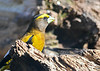 """<div class=""""jaDesc""""> <h4>Male Evening Grosbeak Looking for Seed - April 23, 2019</h4> <p>Really exciting to still have Evening Grosbeaks here this late in April.  A group of 4 males and 6 females seem to like the abundance of sunflower seeds I put out.</p> </div>"""