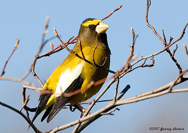 """<div class=""""jaDesc""""> <h4>Male Evening Grosbeak in Serviceberry Tree - November 11 2007 </h4> <p>The Evening Grosbeaks have not been back since early November when I got this shot of a male.  One of my neighbors (a mile away) reports that they have 4 pair at their place. Wonder what I need to do to lure them back?</p> </div>"""