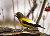 "<div class=""jaDesc""> <h4>Male Evening Grosbeak Eating Breakfast - March 15, 2008 </h4> <p> </p> </div>"